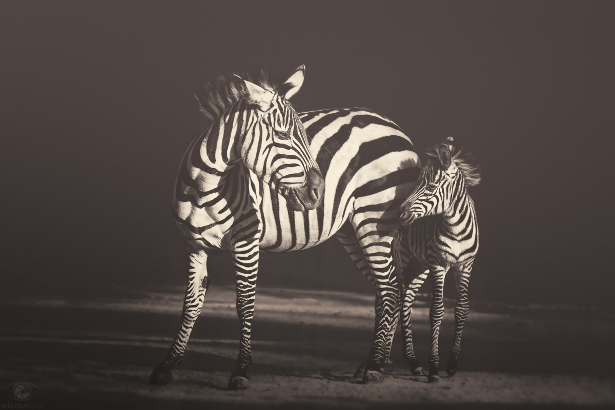 I asked the Zebra, are you black with white stripes? Or white with black stripes? And the zebra asked me: Are you good with bad habits? Or are you bad with good habits? Are you noisy with quiet times? Or are you quiet with noisy times? Are you happy with some sad days? Or are you sad with some happy days? Are you neat with some sloppy ways? Or are you sloppy with some neat ways? And on and on and on and on and on and on he went. I'll never ask a zebra about stripes...again (Shel Silverstein)