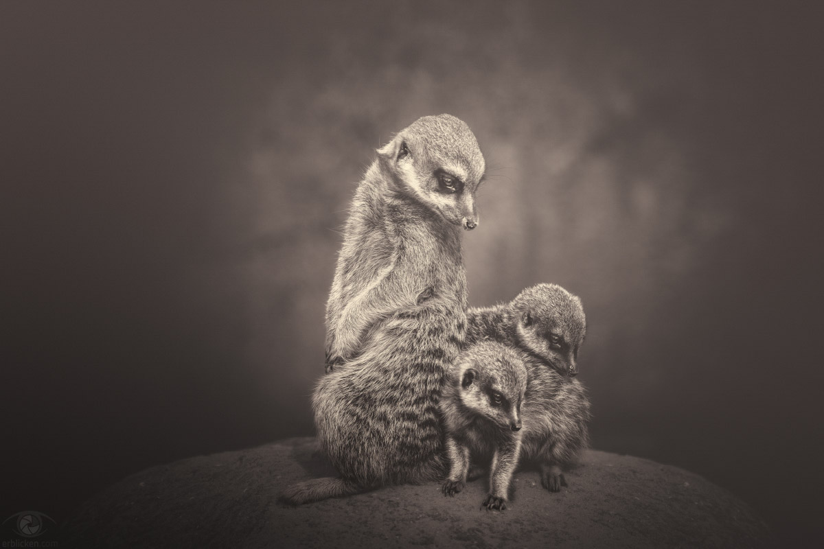 Respect the Elders, Teach the Young, Cooperate with the Family, Play when you can, Work when you should, Rest in between. Share your Affection, Voice your Feelings, Leave your Mark (Meerkat Manor). In this serie Meerkats are not forgotten :o)! Facts: A kat is not a cat when it's a meerkat, a vital, clever, and amazing weasel-like animal that is a member of the mongoose family. For meerkats, there isn't just safety in family groups - there's also companionship. The mob is made up of several family groups, with one dominant pair that produces most of the offspring, but they don't have to be related to belong to the same group. Meerkat mobs spend a lot of their time grooming and playing together to keep the family as a tight unit. This community existence helps the meerkats survive. Erdmännchen leben in matriarchalischen Familienverbänden. Sie gehören zu den sozialsten Säugetieren überhaupt. Sehr häufig suchen die kleinen Mangusten Körperkontakt: sei es durch Umarmen oder einfach nur durch nahes Beieinanderstehen. Auch pflegen sie sich gerne und ausgiebig gegenseitig das Fell :o). Grundsätzlich bestimmt immer das ranghöchste Weibchen, wo die Familie lebt und auch nur dieses bekommt die Jungen. Genau wie die Löwen, begehen auch Surikaten Infantizid. Hier ist es allerdings das dominanten Weibchen, welche die Nachkommen rangniedriger Weibchen tötet. Damit sichert sie die Überlebenschancen ihres eigenen Wurfs.