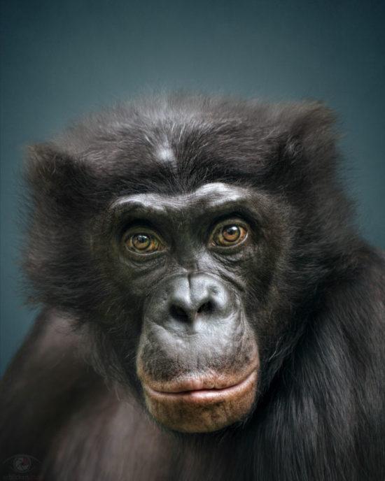 Animal Personality: Bonobo Clyde