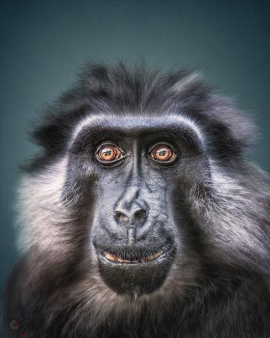 Animal Personality: Moor Macaque Jaya