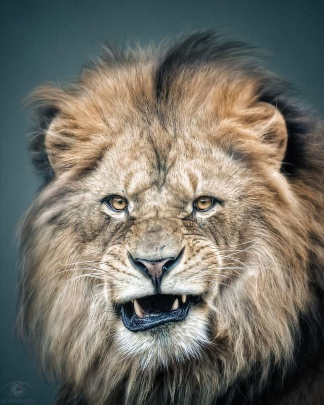 Animal Personality: Lion Masai