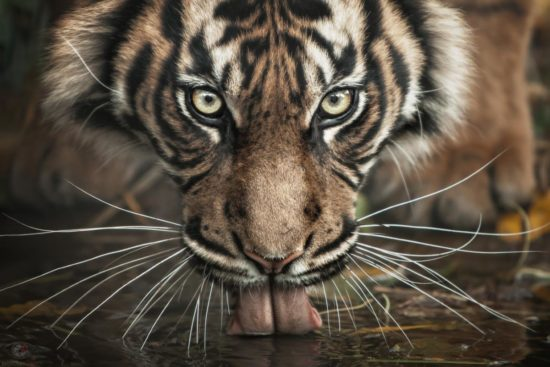 An animal's eyes have the power to speak a great language... ...and now, run ;o)!  It is estimated that only between 500-600 Sumatran tigers remain in the wild, and the actual number may be as low as 400. And their population is dwindling rapidly.  A 1978 a tiger census reported around 1,000 Sumatran tigers still in the wild. This means over the last 25 years, the population of Sumatran tigers has been cut in half.  The Sumatran tiger is considered to be a critically endangered species.  More infos: http://www.tigersincrisis.com/sumatran_tiger.htm