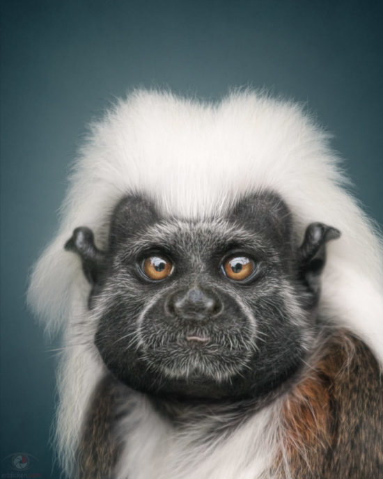 The cotton-top tamarin (Saguinus oedipus) has been baptised with this name due to its eye-catching crest of long white hairs from its forehead to its nape, which falls over its shoulders. The bottom part of the body is white, while the back and tail are orangey. They occupy the rainforests located at the foot of the Andes in northwest Colombia. They live in small family groups that defend their territory and feed primarily on fruits, insects and small vertebrates.   This species is critically endangered due to the destruction of the forests where they live.  More infos: http://www.iucnredlist.org/details/19823/0  Jeronimo = Name invented :o)