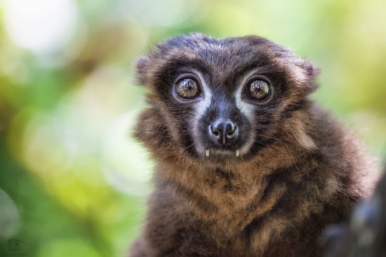 Behold this day. It is yours to make (Nicholas Black Elk)! Meet Mother Nature's most curious creatures: An enchanting Red-bellied lemur :o)!
