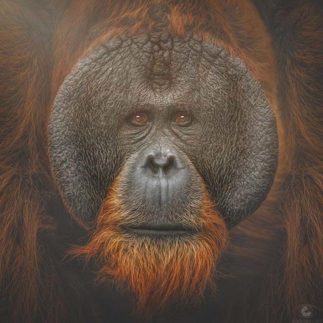 Bornean Orangutan Tuan