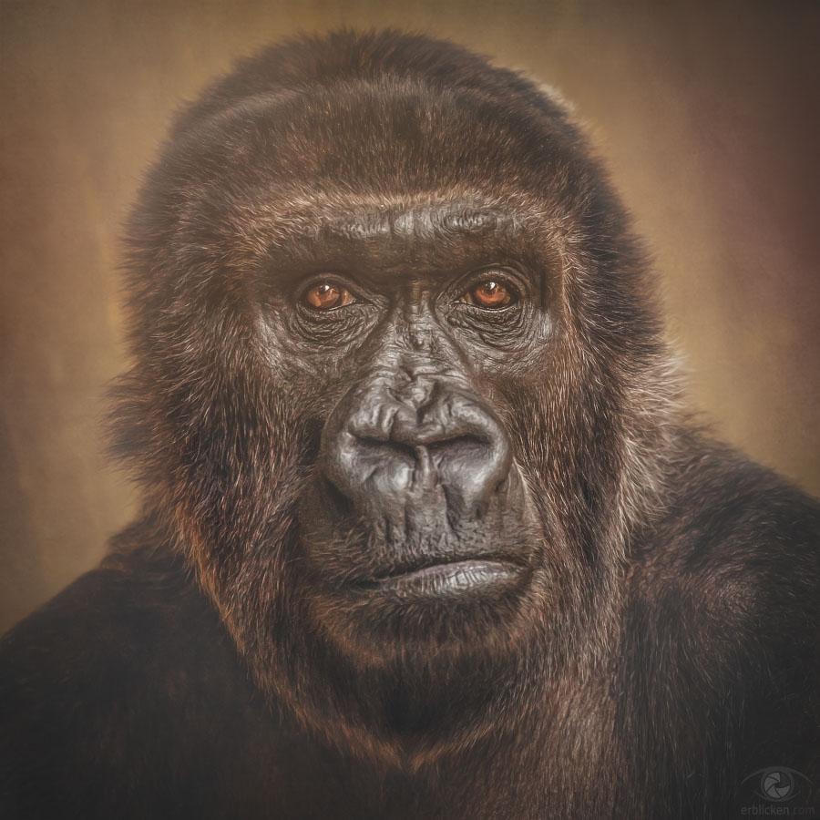 Western lowland gorilla Boma