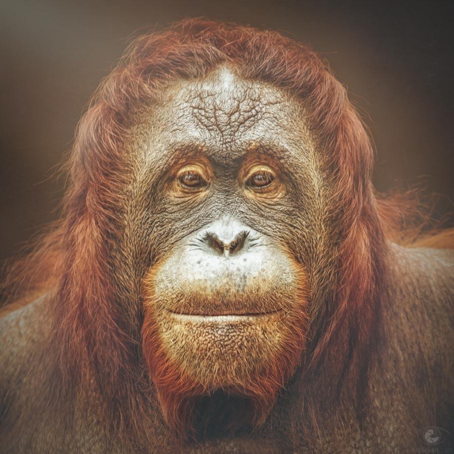 Bornean Orangutan Lea