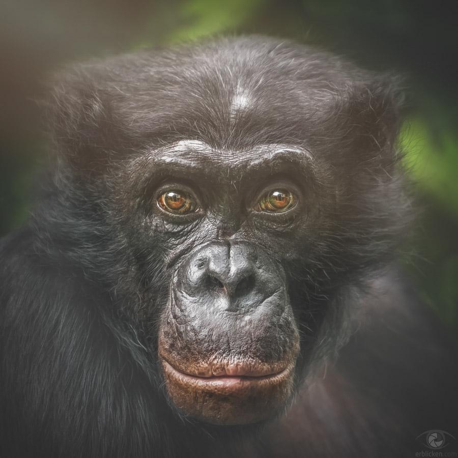 Bonobo Clyde