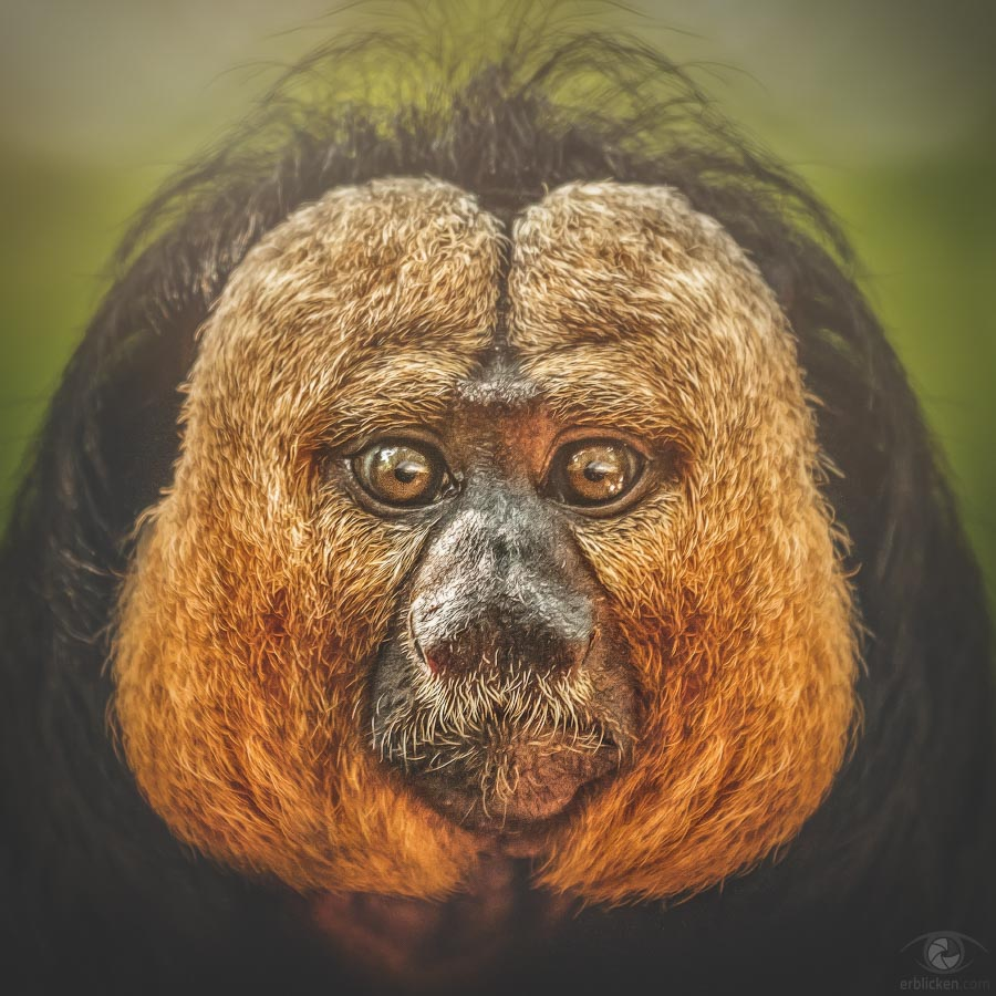 Golden-faced saki Gustavol