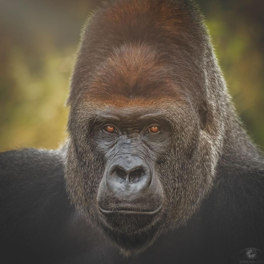 Western lowland gorilla Kidogo
