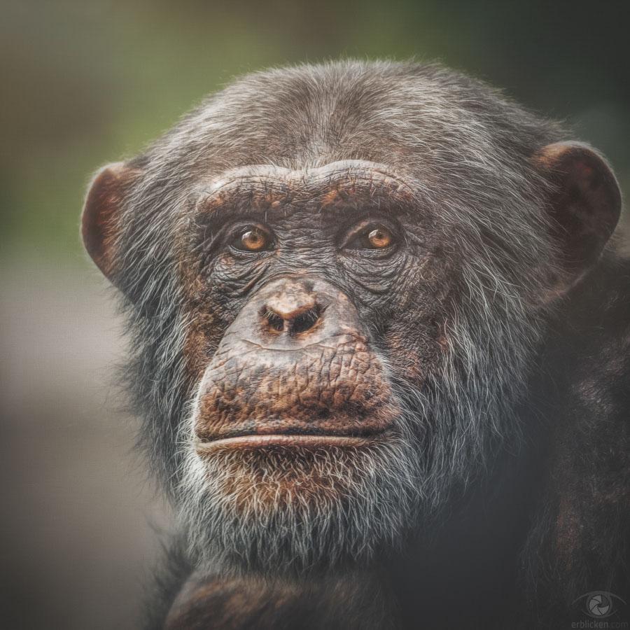 Chimpanzee Yamou