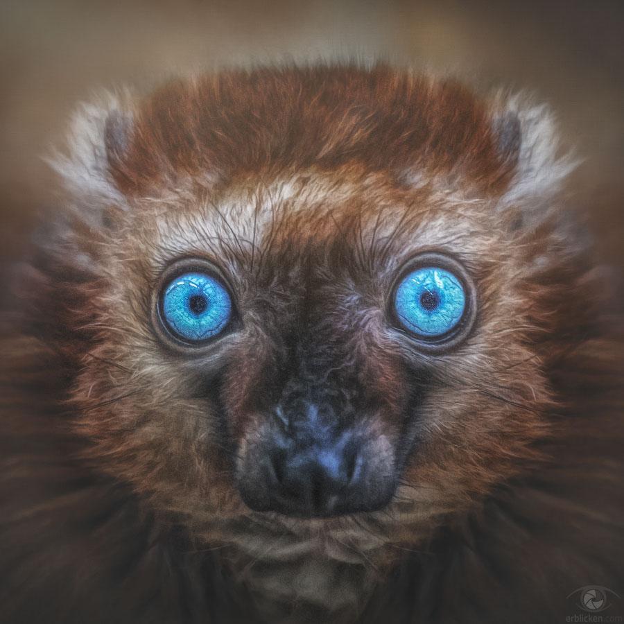 Sclater's lemur Maeva