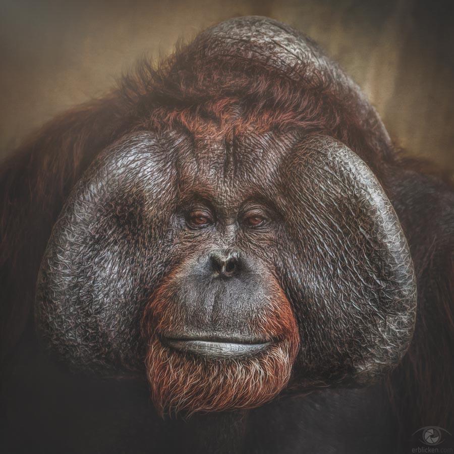 Bornean Orangutan Telok †