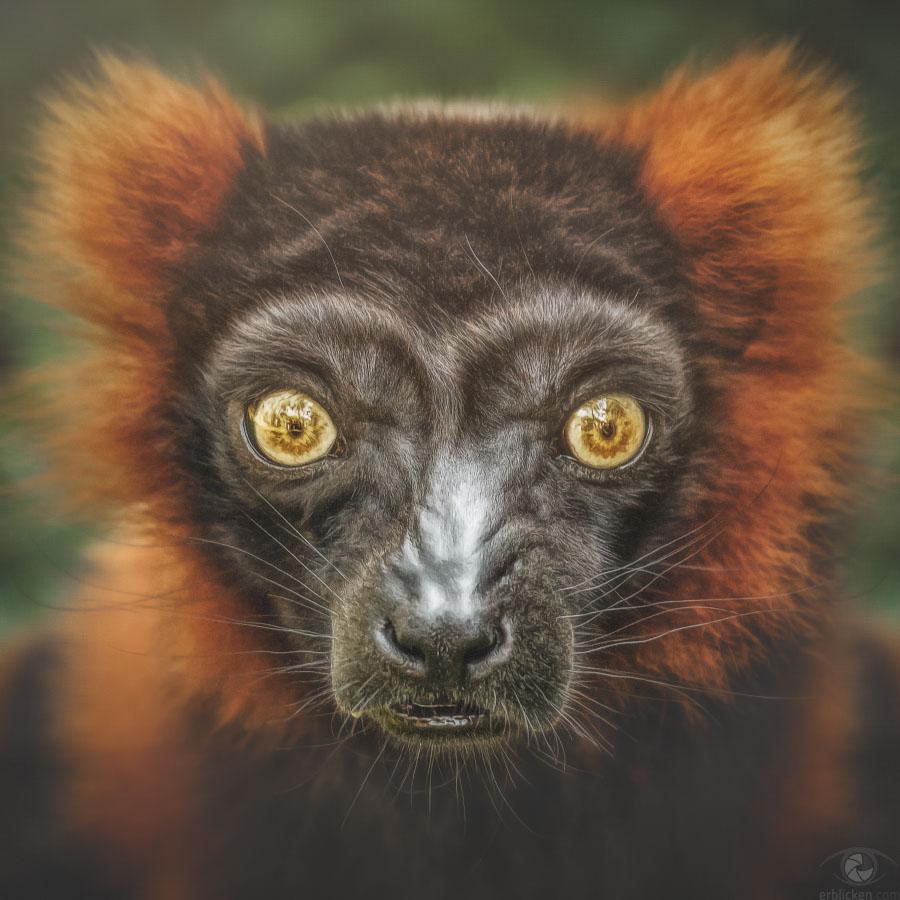 Red ruffed lemur Manjakanony