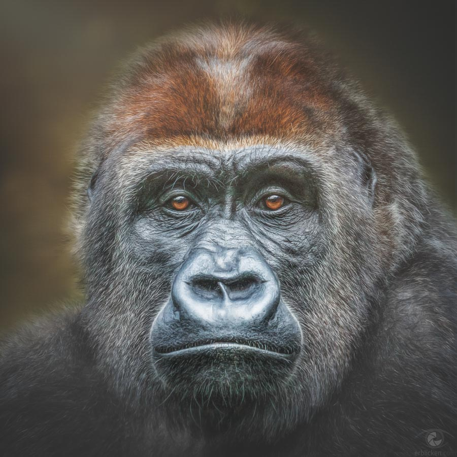 Western lowland gorilla Grace