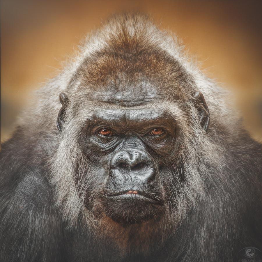 Western lowland gorilla Tumba