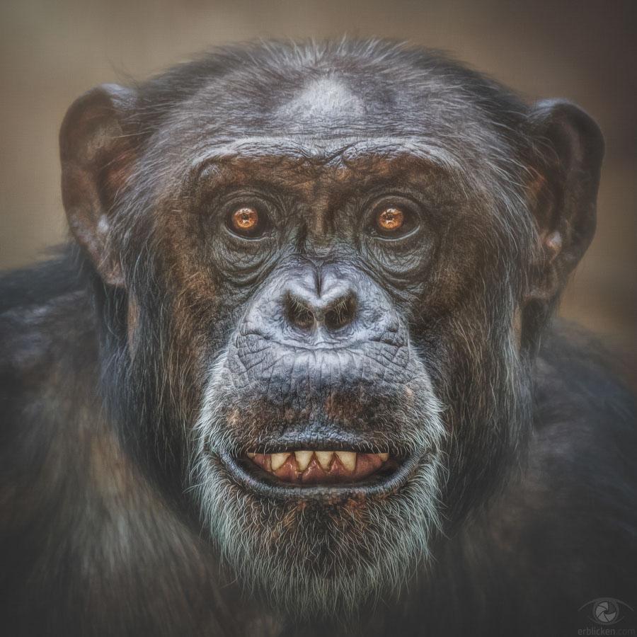 Chimpanzee Gombe †