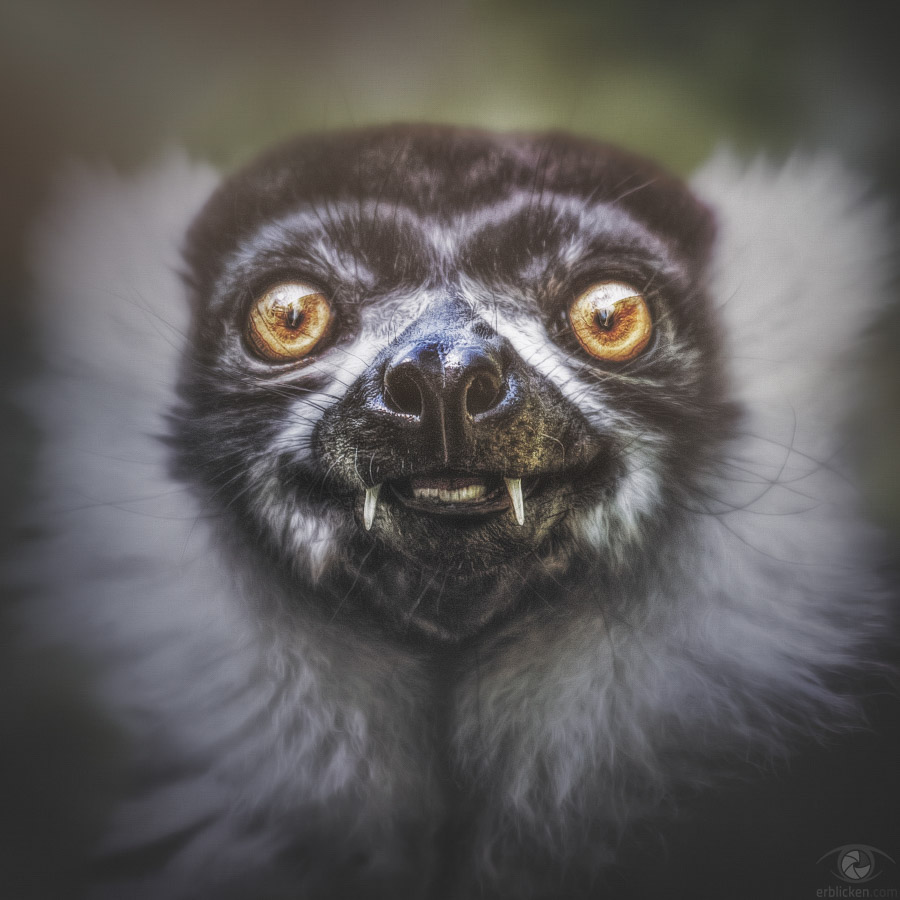 Black-and-white ruffed lemur Nirina