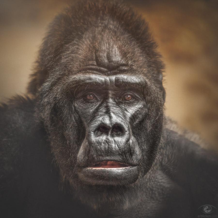 Western lowland gorilla Massa