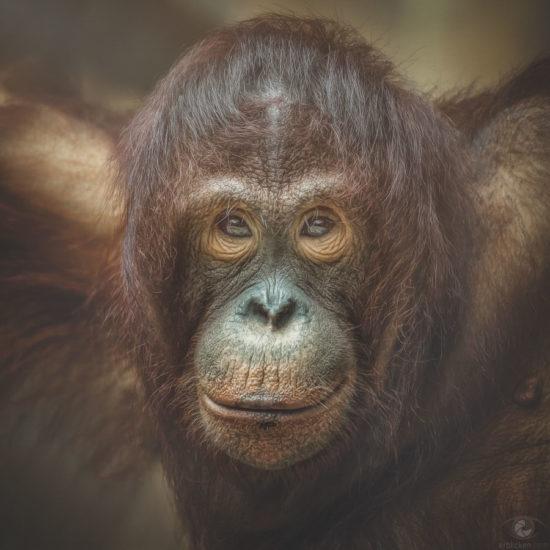 Bornean Orangutan Sungai