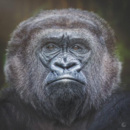 Western lowland gorilla Roseli