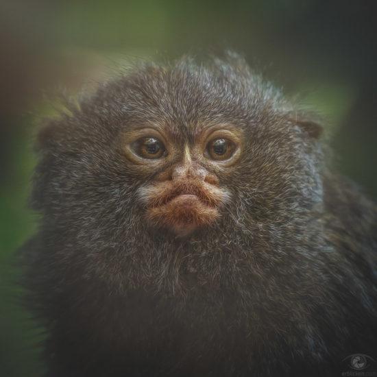 Pygmy marmoset Airão