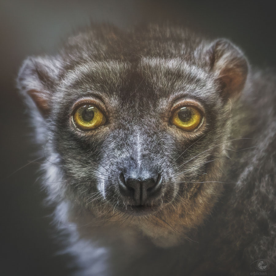 Common brown lemur Illham