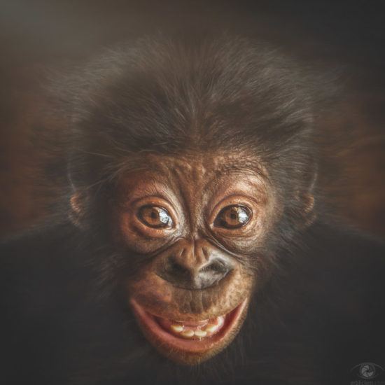 Bonobo AZIBO