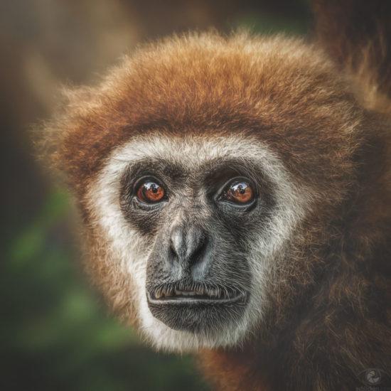 Lar gibbon Noi