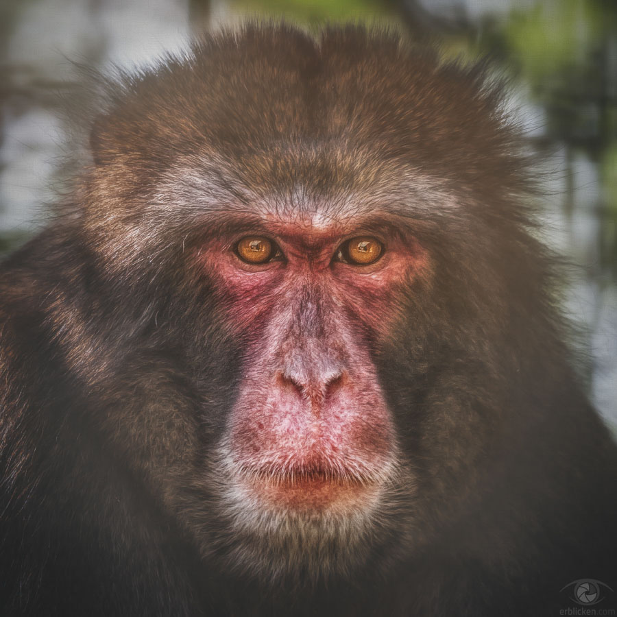 Japanese macaque Yui