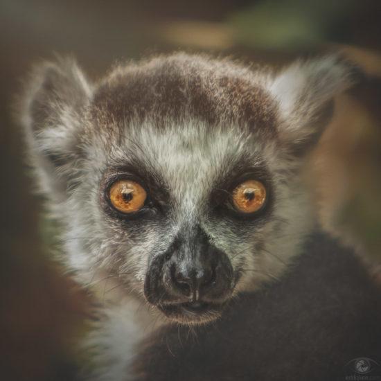 Ring-tailed lemur Janahary