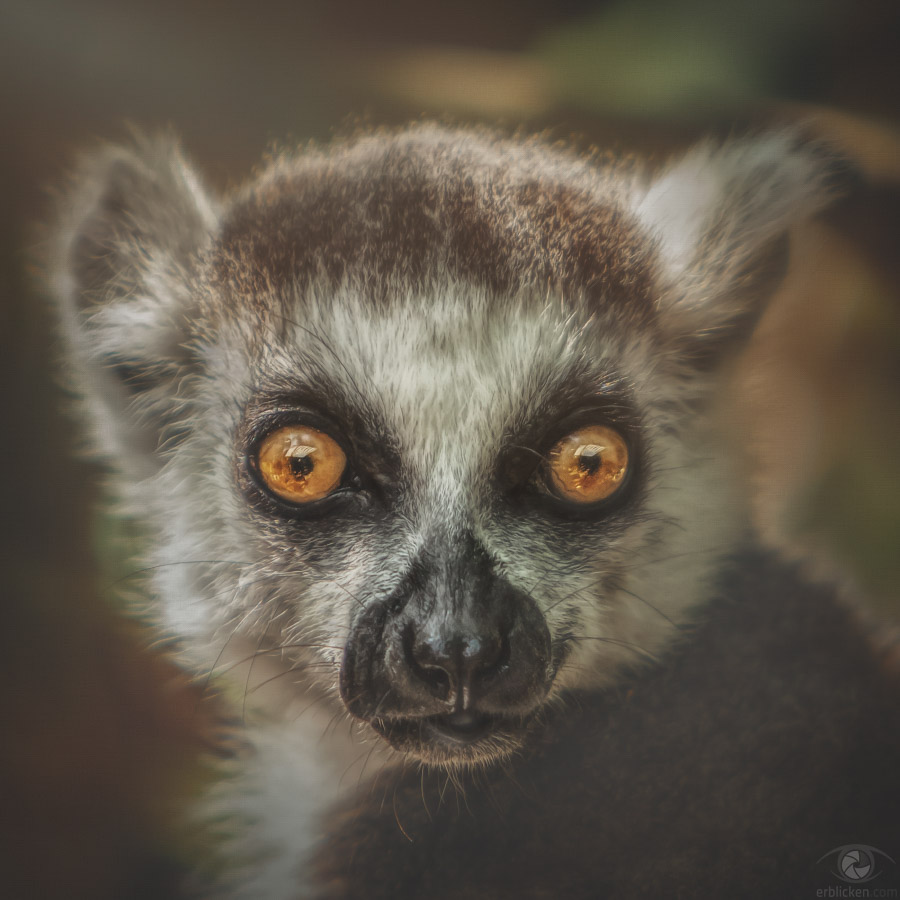 Ring-tailed lemur Janahary