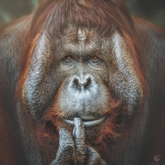 Bornean Orangutan Pongo This image is for the time being the last image of the series. The initiator of the series was the Year of the Monkey. 2016 (on the Chinese calendar) is a year of the Monkey, starting from February 8 (Chinese New Year), and ending on January 27, 2017 (Chinese New Year's Eve). Linked to this the series was created due to my respectful love for the monkeys and out of curiosity about their mysterious personalities. It's a focus on concrete thoughts and feelings while viewing the pictures. Emotions like our own are mirrored in the faces of the apes. We should trust more our hearts in this issue than follow the ineradicable prejudice emotions are reserved for humans. You really can believe what you see in their faces. They are happy, tender, roguishly, insulted, thoughtful, angry, helpless, shy, bashful, and sad and so on. In their eyes - if they grant us to take a deep look - you can find an odd mix of youth and age, lightheartedness and deep wisdom. What is it that they know and we not, and we have no chance to get an answer. Because the answer probably lies beyond our horizon. hóu nián dàjí :o)