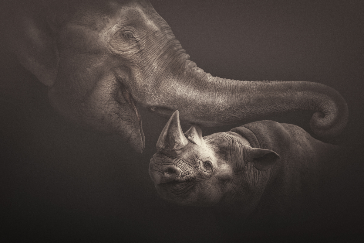 A Black rhinoceros and an Asian elephant from zoo Krefeld - these intelligent, peace-loving, four-footed friends - who are without prejudice, without hate, without greed - may someday teach us something; friendship without prejudice :o)!