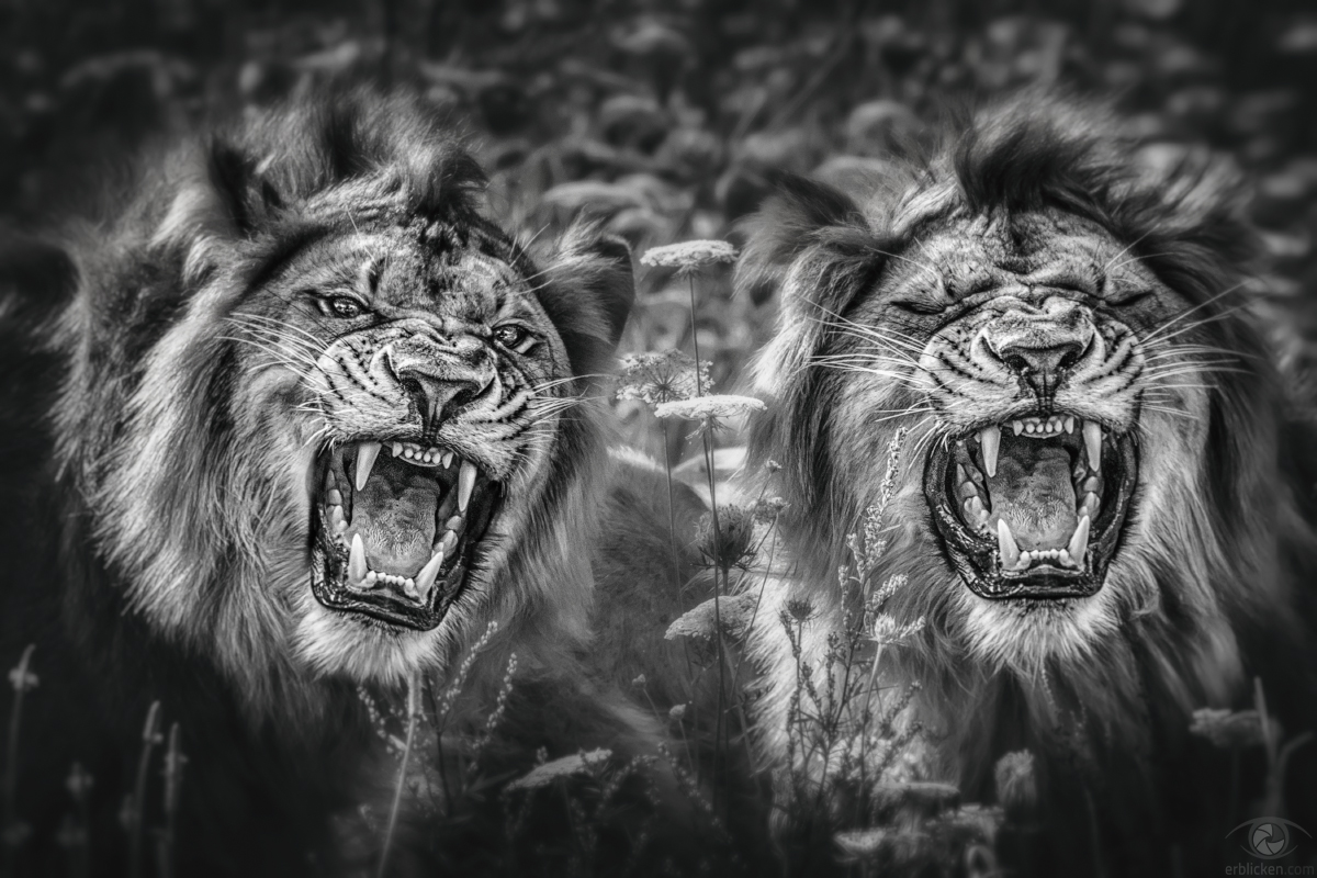 The lion's power lies in our fear of him (Nigerian Proverbs)!
